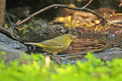 2 Warblers in one photo (ahmed_eldaly) Tags: sandiego california usa nature birds birding wildlife photography egyptianphotographer