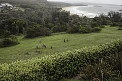 Neighbours (iii) (norm_p) Tags: kangaroo wallaby australia marsupial
