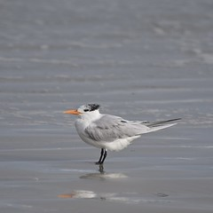 Royal Tern (MJ Harbey) Tags: bird sea beach water sand royaltern florida newsmyrnabeach usa animalia aves laridae reflection nikon d3300 nikond3300 atlanticocean ocean