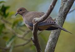 Peaceful (ACEZandEIGHTZ) Tags: avian mourningdove bokeh branches nikon d3200 macroura zenaida backyard birdwatcher feathered coth alittlebeauty coth5 sunrays5