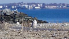 snowy owl (quadceratops) Tags: massachusetts nature suffolk county beach snowy owl