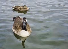 041/365 Quack Quack Honk (Helen Orozco) Tags: day41365 365the2019edition canadagoose duck tingleybeach albuquerque