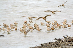 Godwits (Alex Ignatov) Tags: auckland newzealand bird birdwatching godwit nature wildlife aucklandregion nz