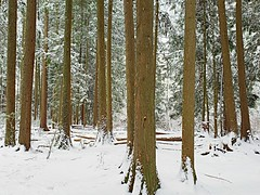 Trees standing in snow (walneylad) Tags: westlynn lynnvalley northvancouver britishcolumbia canada snow whitestuff flurries february winter woods woodland forest urbanforest rainforest park parkland urbanpark eastviewpark trees evergreens trunks branches leaves nature view scenery