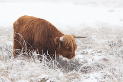 Highland Cow (Rob Christiaans  Photography) Tags: canon5dmkiii canonef300mmf4is higlandcow schotsehooglander bostaurus veluwe veluwezoom holland gelderland luminositymasks robchristiaans winter snow frost animal mammal fog mist