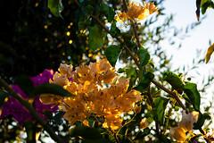 Bougainvillea (.Stephen..Brennan.) Tags: da70 flowers pentax pentaxk3 perth westernaustralia australia au 70mm