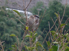 Birds (The Chairman 8) Tags: queensbury birds housesparrows privet 2019 housesparrow roof feathers passerdomesticus passer domesticus evergreens leaves wings brown markings black gray grey feet claws