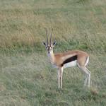Thomson's gazelle in Masai Mara thumbnail