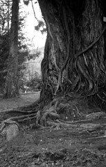 Terra Nostra Park (salparadise666) Tags: zorki 3m industar 22 rollei retro 80s caffenol cl 45min nils volkmer kb vertical rangefinder russian azores portugal bw black white monochrome tree terra nostra park