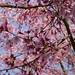 Au jardin, cerisier à fleurs du Japon ou prunus