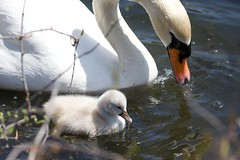 Mamas teachings..... (ineedathis, Everyday I get up, it's a great day!) Tags: swan cygnet cygnus muteswans waterdrops swanlings aquatic avian feeding huntington heckscherpark pond water spring longisland newyork nikond750 babies bird family vegetations park tree