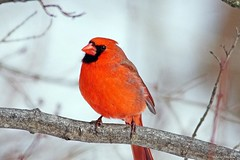 Northern Cardinal Male (Anne Ahearne) Tags: wild bird animal nature wildlife red songbird birdwatching cardinal northerncardinal tree branch winter