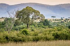 Find the Leopard (helenehoffman) Tags: africa kenya landscape pantheraparduspardus felidae mammal conservationstatusvulnerable cat feline africanleopard leopard bigcat maasaimaranationalreserve animal