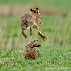 Leap-Frogging Hare (www.facebook.com/PaulSmithWildlife) Tags: wildlife nature springwatch hares suffolk boxinghares