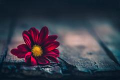 Beauty in the dark (Ro Cafe) Tags: stilllife flower daisy wood table dark darkmood lowkey red textured nikkor105mmf28 sonya7iii
