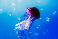 Medusas - Acuario de Sevilla (Sandra Pedreira) Tags: acuario aquarium medusas sea poison canon blue jellyfish