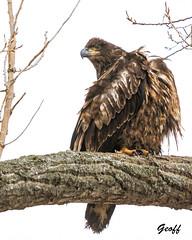 Bald Eagle (gwhiteway) Tags: bald eagle bird tree st johns newoundland labrador canada