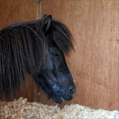 Having a Doze (meniscuslens) Tags: shetland pony sleeping horse trust stable rescue charity princes risborough high wycombe aylesbury buckinghamshire walter