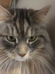 LOST dmh timid silver tabby siberian forest cat in #lakeview Pls rt watch share help to find Barkley Missing Cat in Lakeview - Barkley 3 year old Siberian Forest Cat Male - super sweet, very timid hollygibney3ATgmail.com Large, tabby silver/black Barkley (yycpetrecovery) Tags: ifttt march 31 2019 0111am