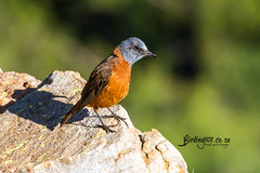 Cape Rock-thrush, Nortcliff Eco Park, Randburg, Jan 2019 (roelofvdb) Tags: 2019 581 caperockthrush date gauteng january place randburg southernafricanbirds thrush thrushcaperock year