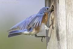 Eastern Bluebird making a house inspection IMG_4097 (ronzigler) Tags: thrush songbird nature birdwatcher avian wildlife bluebird eastern bird watcher