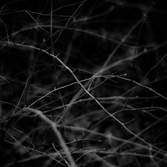 Thicket Details 072 (noahbw) Tags: captaindanielwrightwoods d5000 dof nikon abstract blackwhite blackandwhite blur branches bw dark darkness depthoffield forest lines monochrome natural noahbw spring square woods