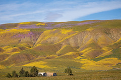 Purple and Yellow Blooms (Teresa_J) Tags: carrizo plain national monument apr 2019