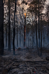 nowa-nowa-3601-ps-w (pw-pix) Tags: fire bushfire burning flames embers trees logs ash sticks dirt black grey orange yellow green controlledburn fuelreductionburn turnedintoabushfire smoke smokey haze hazy afternoon lateafternoon nearbruthennowanowaroad nearbruthenbuchanroad kennyroad prettysally nowanowa eastgippsland gippsland easternvictoria victoria australia peterwilliams pwpix wwwpwpixstudio pwpixstudio