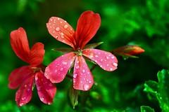Geranio sotto la pioggia (giorgiorodano46) Tags: aprile2019 april 2019 giorgiorodano geranio flower bokeh