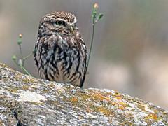 (Athene noctua)  Mochuelo común o europeo  (26) (eb3alfmiguel) Tags: aves pájaros rapaces nocturnas strigiformes strigidae mochuelo europeo athene noctua pájaro animalaves animal