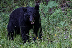 Black Bear eating Dandelions (crafty1tutu (Ann)) Tags: travel holiday 2018 canadaandalaska alaska anchorage animal bear blackbear free roamingfree inthewild crafty1tutu canon7dmkii ef100400mmf4556lisiiusm anncameron naturethroughthelens