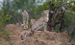 Cheetah - Jachtluipaard -9050 (Theo Locher) Tags: acinonyxjubatus cheeta cheetah jachtluipaard zoogdieren mammals mammifères säugetiere gepard guépard southafrica zuidafrika kruger krugernationalpark copyrighttheolocher