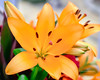 Lily... (moraypix) Tags: lily colourfullily christmaslily floral moraypixphotography jimmacbeath happynewyear yellowandbright newyeardelight