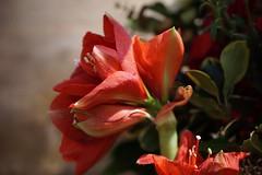 red - explored (quietpurplehaze07) Tags: proyecto365días red amaryllis stcrossalmshouse normanchurch winchester macro flower ღღentreamigosღღ explored