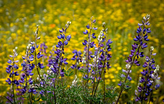 Lupine & Goldfields 2492 (Morning Star Images_Mike Schumacher) Tags: lupine goldfield yellow purple wildflower