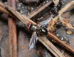 Fly doing the wave-1 (cotinis) Tags: insect diptera ulidiidae euxesta euxestanotata picturewingedfly northcarolina coastalplain howellwoods canonef100mmf28macrousm fridayflyday