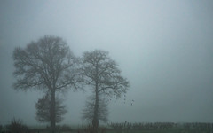 one stays (Wöwwesch) Tags: mist fog trees birds flying grey weather lanscape winter netherlands silhouettes