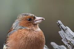 Buchfink (fringilla coelebs) (alfred.reinartz) Tags: vogel singvogel buchfink fringillacoelebs chaffinch