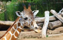 Just Another Cute Giraffe (Kaptured by Kala) Tags: fortworthzoo mammal closeup zoo fortworthtexas reticulatedgiraffe giraffacamelopardalis giraffe largeanimal newspeciesforme portrait nativetoafrica
