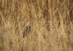 IMG_0015 (Sebastian Orue) Tags: spragues pipit bird birding grassland winter marfa texas chihuahuan desert conservation biology nature