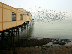 "The Starlings at ""The Royal pier"" Aberystwyth, West Wales (Minoltakid) Tags: starlings birds wildlife theroyalpier royalpier aberystwyth aber aberystwythpier pier piers oldpier historicpier seaside seasidetown seasidephotography sea seafront wales welshseaside welshheritage welshcoast westwales welsh uk unitedkingdom town thewelshseaside rossdevans ross theminoltakid minoltakid"