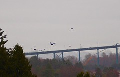 Crows Flying Home to Roost ... (Irene, W. Van. BC) Tags: crowsflyinghometoroost crows crow northshore lionsgatebridge vancouverbc bridge bridges trees treesilhouettes treebranches treesinmist sky skies skyline awesomeskies awesomenature wonderfulnature birds birdsofafeather birdwatch birdsofbc bcbirds pacificcoastbirds animalsandbirds allbirds allanimals outdoors outdoorscenes 1001nights 1001nightsmagiccity 1001nightsmagicpeacock 1001nightsmagicwindow
