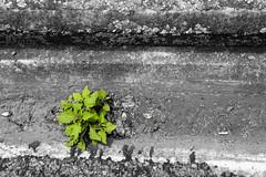 20190114_2463_1D3-40 Weed in the gutter (johnstewartnz) Tags: 1dmarkiii 1d3 1dmark3 1d 1dmkiii 1dmk3 1diii 1740mm 1740 ef1740mmf4lusm selectivecolor selectivecolour weed gutter roadside canonapsh apsh eos