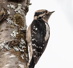 Downy Woodpecker (RebelRob) Tags: britishcolumbia birds birdwatching downywoodpecker picoidespubescens woodpecker vancouverisland victoriabc