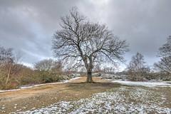The Tree (ArtGordon1) Tags: london england uk leytonstone hollowpond hollowponds winter january 2019 oaktree davegordon davidgordon daveartgordon davidagordon daveagordon artgordon1 snow freezing cold