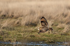 Short-eared Owl I (dennis_plank_nature_photography) Tags: avianphotography east90 shortearedowl birdphotography naturephotography skagit wa avian birds nature