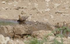 Namaqua Sandgrouses (Pterocles namaqua) drinking ... (berniedup) Tags: leeudril nossob kgalagaditransfrontierpark namaquasandgrouse pteroclesnamaqua sandgrouse taxonomy:binomial=pteroclesnamaqua bird kgalagadi