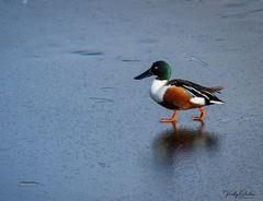 Shovler walking on ice. (vickyouten) Tags: shovler nature naturephotography wildlife britishwildlife wildlifephotography nikon nikond7200 nikonphotography nikkor55300mm penningtonflash leigh uk vickyouten