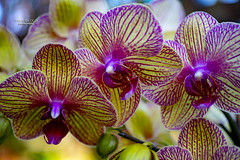 stripes and dots (mariola aga) Tags: greenhouse conservatory plants flowers orchids closeup coth alittlebeauty coth5
