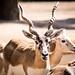 Blackbuck antilope cervicapra looking towards camera